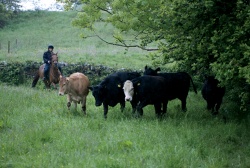 horses and cattle on the ely family farm