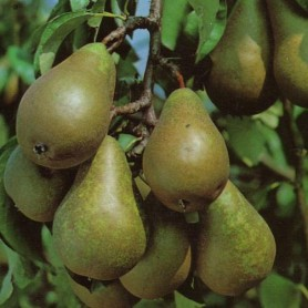 pear_johnstowngardencentre
