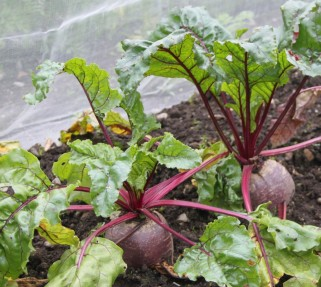 Pic2-Super-Beetroot-1024x916